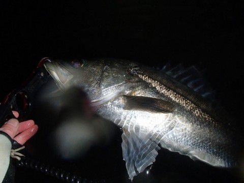 湾奥干潟で鱸釣り