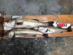 エビ撒き釣りでスズキ級釣れました♪