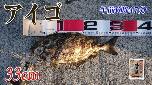 アイゴからスタート!山口県柳井市の黒鯛(チヌ)釣り #027
