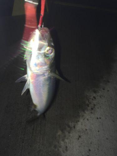 さらにタチウオ釣るスレ(´・_・`)